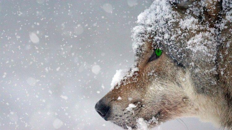 В Германии в пещерах Гнирсхёле обнаружены останки первых одомашненных волков