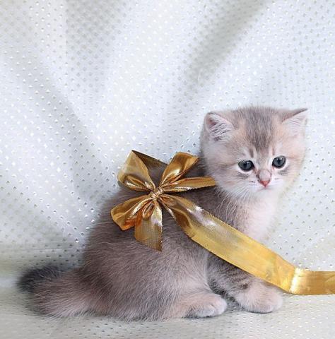 Продается котенок скоттиш страйт