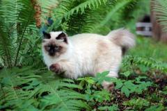 Невский маскарадный котенок 6 месяцев из питомника