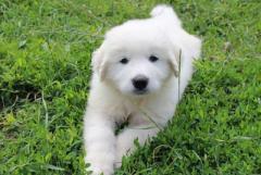 Щенки породы пиренейская горная собака