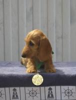 Продам щенки такса мини жесткошерстная