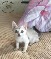 Kätzchen - eine rasse von singapur - kinderzimmer singarus