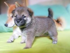 Продаются прелестные щенки сиба - ину... Shiba - inu