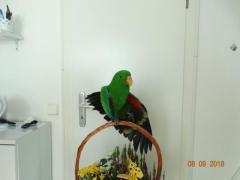 Продаю благородного попугая