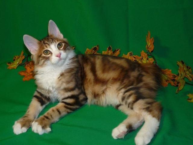 Котята курильского бобтейла супер-элита