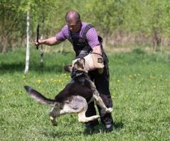 Восточноевропейская и немецкая овчарка. Щенки.