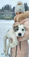 Welpen der zentralasien-shepherd dog (alabai) von eltern-riesen!!!