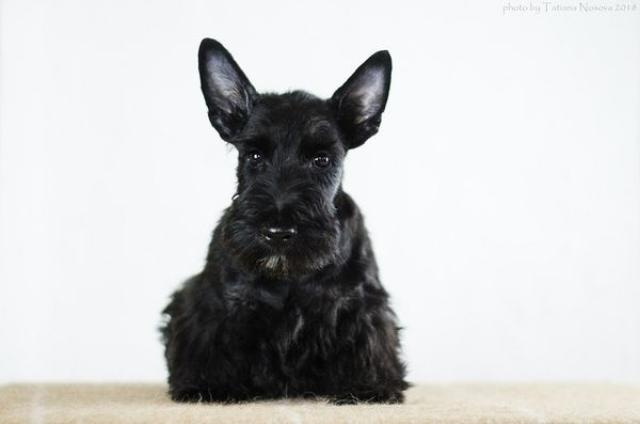 Puppies scotch terrier