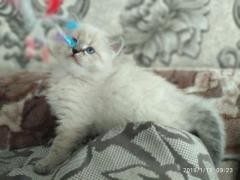 Продам сибирских котят