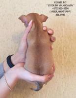 Chihuahua-welpen zum verkauf!