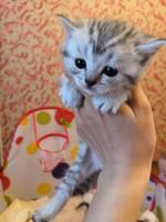 Продам шотландские котят