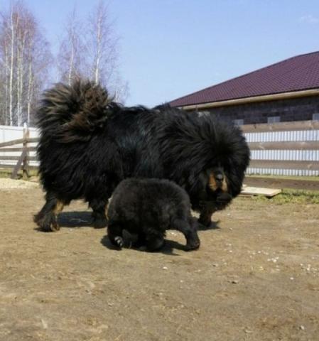 Тибетский мастиф. Щенки.