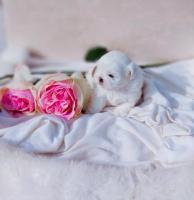Шикарная малышка ши-тцу