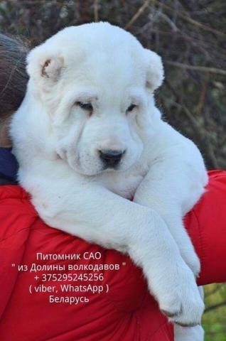 Welpen des zentralasiatischen schäferhundes alabai von den giants zum verkauf an!!!