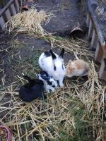 Продам карликовых кроликов