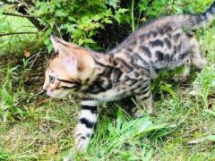 Предлагаю бенгальских, чистокровных котят!