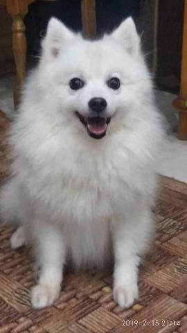 Продаются щенки пароды японского шпица.