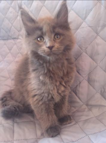 Кошечка  мейн -кун в разведение редкого голоубого окраса привита. Чипирована с родословной