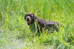 Лабрадор ретривер. Labrador retriever