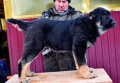 Щенки среднеазиатской овчарки