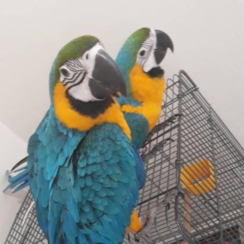 Мужские и женские попугаи сине-золотой ара