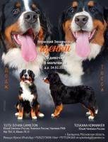 Предлагаются к резервированию щенки бернского зенненхунда