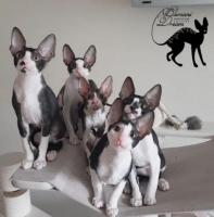 Cornish rex kätzchen