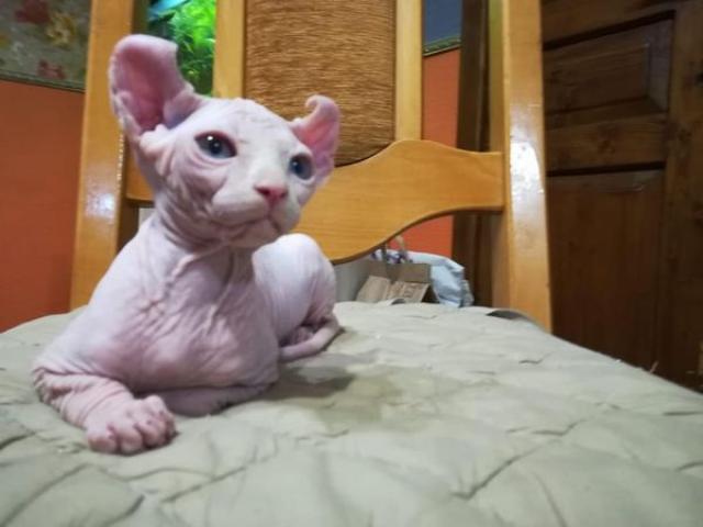 Продажа котят сфинксов эльфы