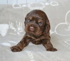 Американский кокер спаниель шоколадный щенок