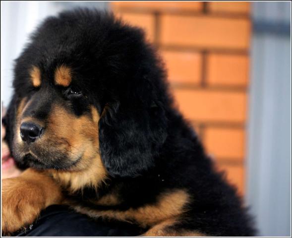 Продаются щенки тибетского мастифа/Tibetan Mastiff puppies for sale