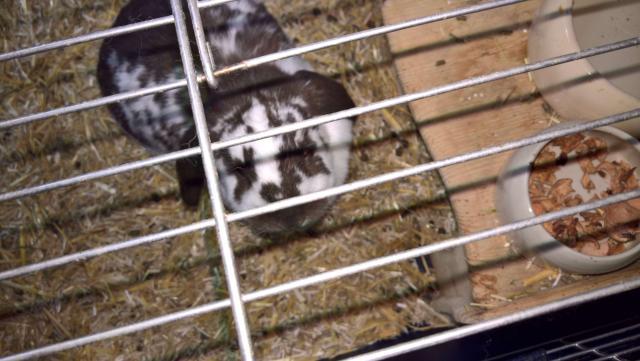 Отдам двух кроликов в надежные руки