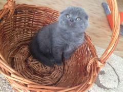 Котенок клубный с родословной, можно в разведение