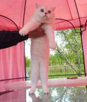 Britische silbrige Kätzchen