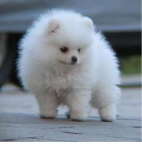 Белые щенки померанского шпица