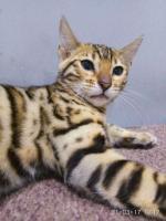 Бенгальские котята из питомника Wonderfulcats