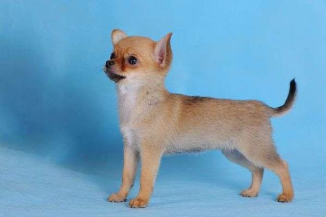 Girl Chihuahua from Moskow