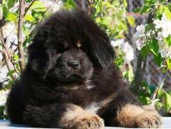 Шикарные щенки тибетского мастифа
