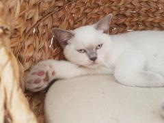 Продаём британских короткошестных котят с документами