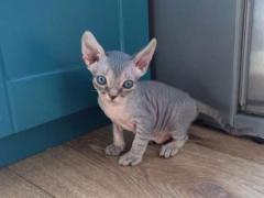 Продам котят породы Девон Рекс (devon rex)