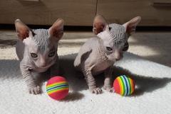 Don Sphynx Kätzchen