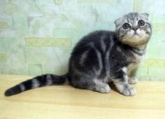 Gavrosh - кот , породы скоттиш фолд(SFS)