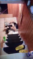 Продаются щенки породы лабрадор