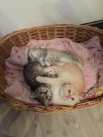 Британские и вислоухие котята