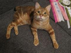 мраморный кот курильского бобтейла