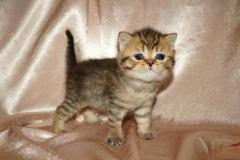 шотландские котята. чистокровные.