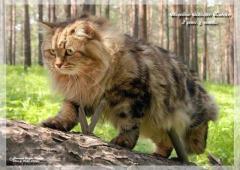 Сибиряки. котята.